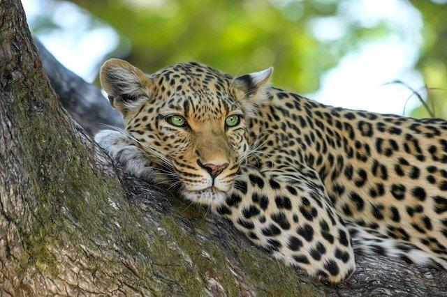 optimizaciya-izobrazhenij-leopard